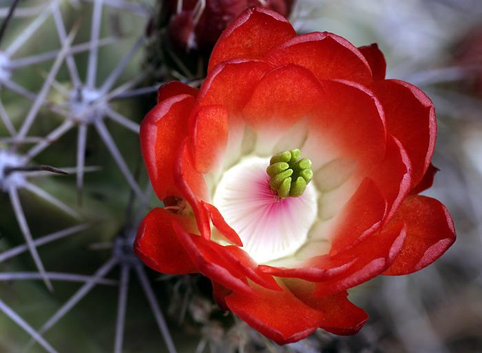 вот вам кактусов цветущих. только они у меня с.