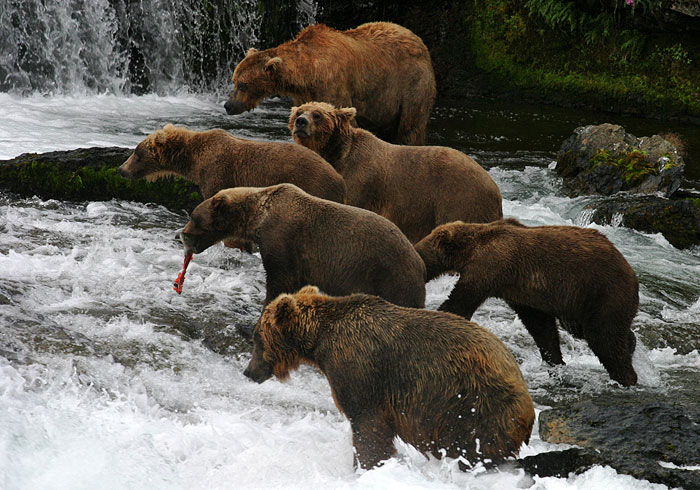 Медведи собрались под водопадом, и ждут лосося.