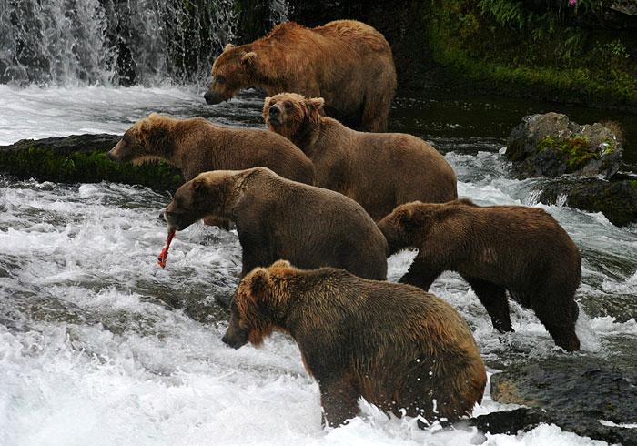 ...росомаха, медведь бурый, барсук, белка, горностай, норка американская...