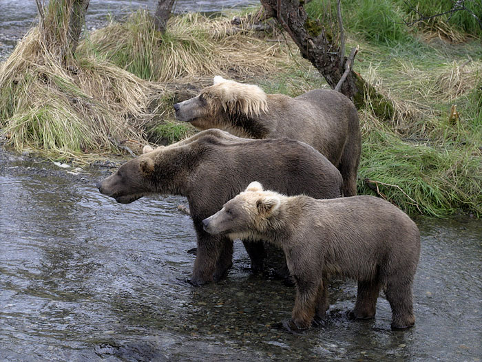 Группа молодых медведей - гопников Водопад Brooks falls, Катмаи, Аляска...