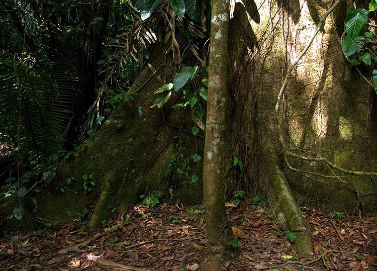 Основание дерева Сейба