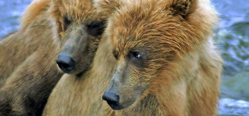 Аляска: первый фотоальбом про медведей