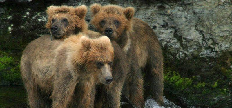 Аляска: второй фотоальбом про медведей