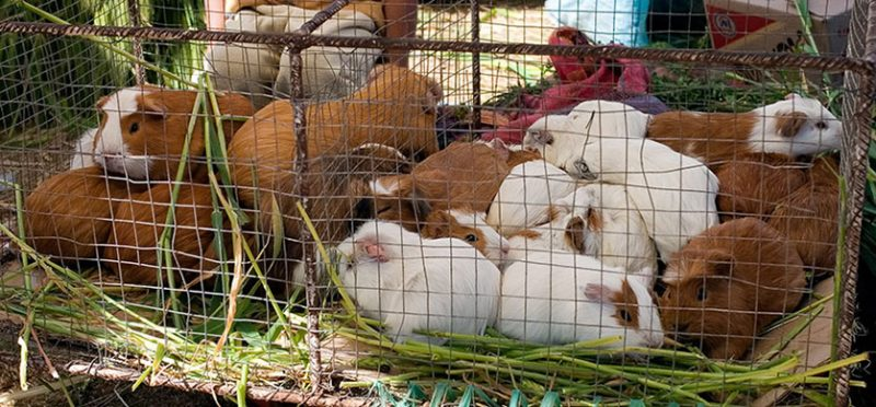 Куй – это не только ценный мех… (Перу)