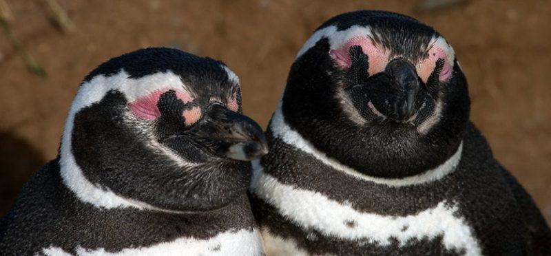 Как Степаныч женился (Чилийская Пингвиниана)