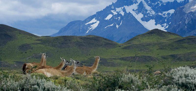 Гуанако – южноамериканский верблюд