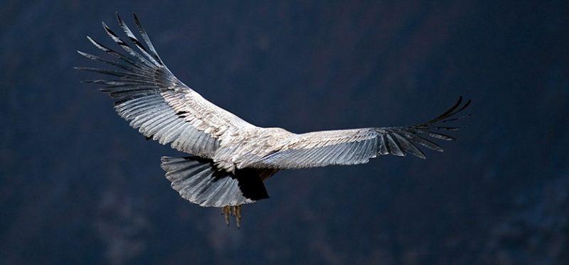 Перу: полет кондора. Фоторепортаж