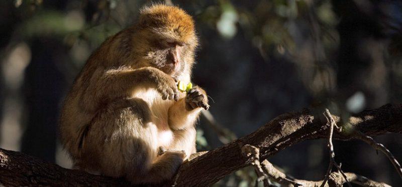 Марокко: обезьяны Среднего Атласа. Фоторепортаж