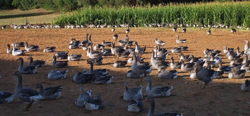 Франция: гуси, гуси, фуа-гра! Фоторепортаж