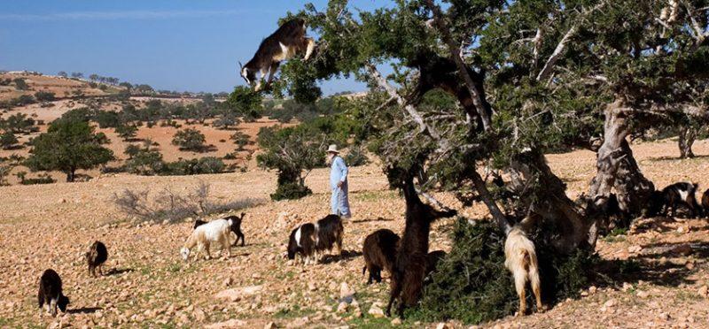 Марокко: козы-древолазы. Фоторепортаж
