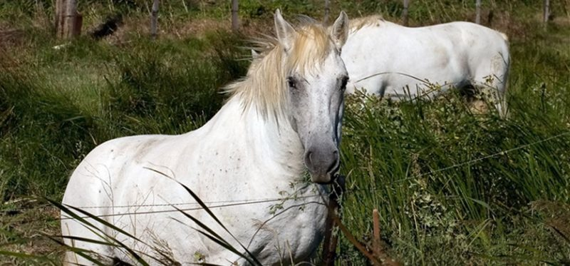 Франция: белые лошади Камарга. Фоторепортаж