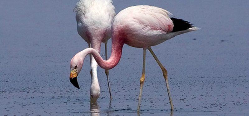 Андские фламинго (Чили)