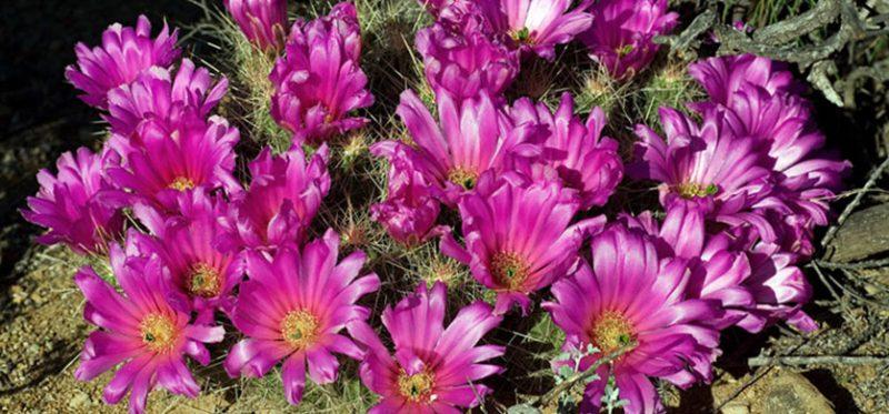 Цветы пустыни Чиуауа: Биг Бенд, Техас