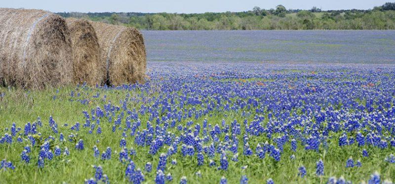 Техасские люпины