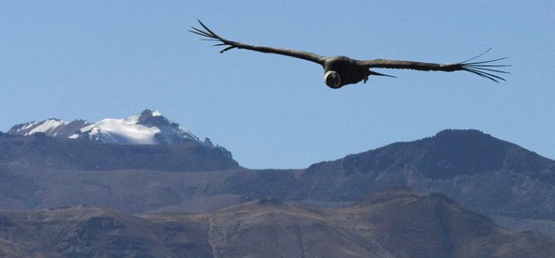 Перу: третий фотоальбом. Андские кондоры