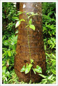 Симбиоз карибской орхидеи Schomburgkia и капустной пальмы. Заповедник Flower Forest.