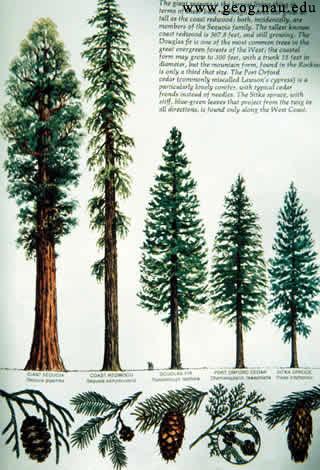Слева направо: гигантская секвойя, редвуд, хвойные обычного размера